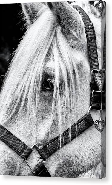 Draft Horses Canvas Print - Percheron Horse by Tim Gainey