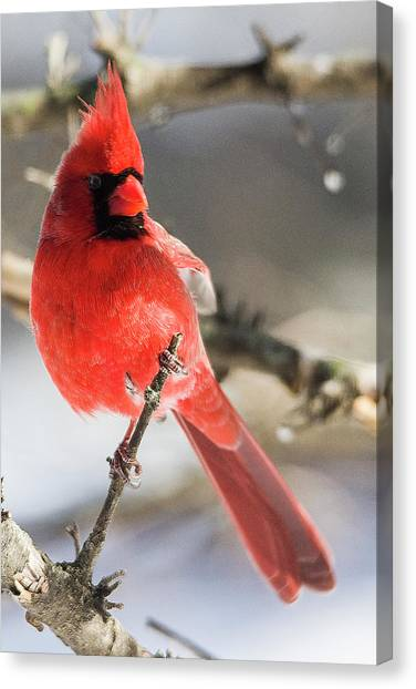 Perching Mister Cardinal Canvas Print