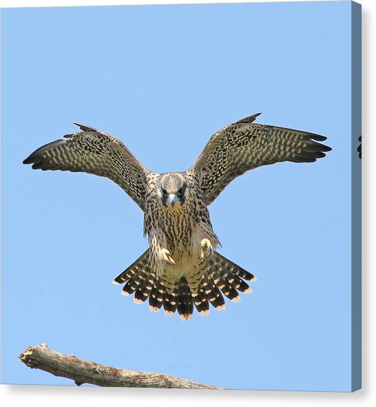Falcons Canvas Print - Peregrine Falcon Concentration by ML Lombard