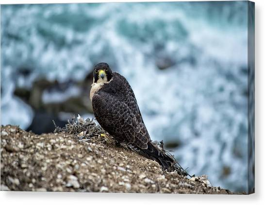Peregrine Falcon - Here's Looking At You Canvas Print