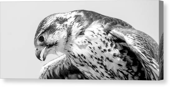 Peregrine Falcon In Black And White Canvas Print
