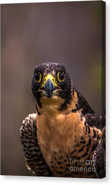 Peregrine Falcon Profile 2 Canvas Print