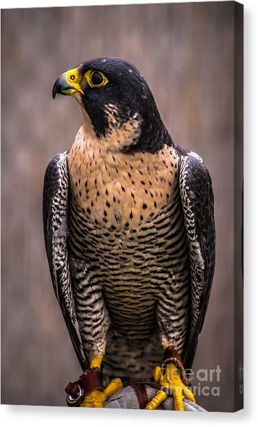 Peregrine Falcon Profile Canvas Print