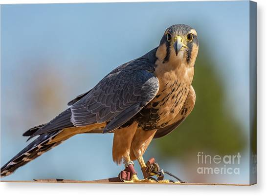 Peregrine Falcon Wildlife Art By Kaylyn Franks Canvas Print
