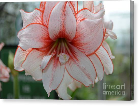 Perfect Amarylis Canvas Print