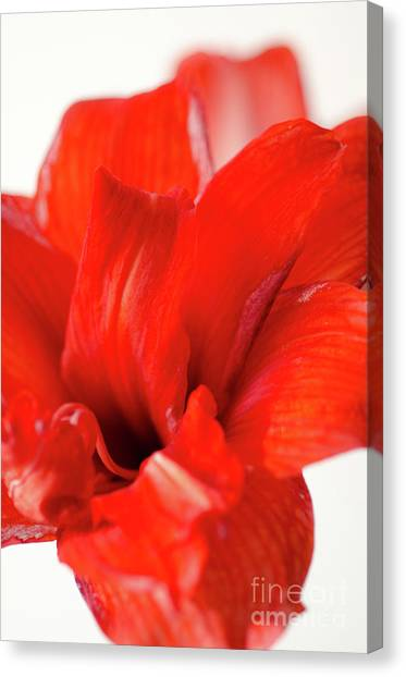 Andy Bloom Canvas Print - Perfect Amaryllis Red Amaryllis Bloom Cutout And Isolated On A Whilte Background by Andy Smy