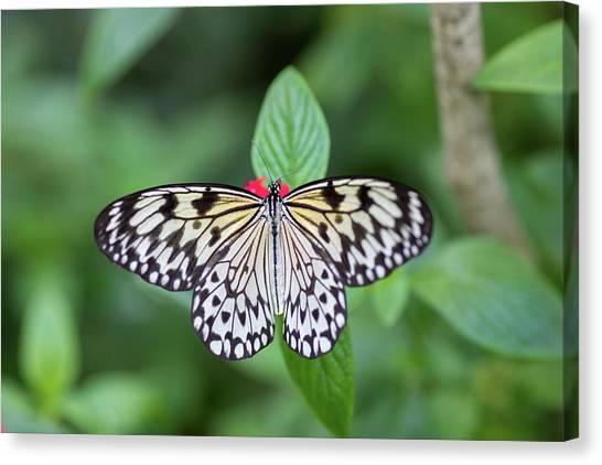 Canvas Print featuring the photograph Perfect Butterfly Pose by Raphael Lopez