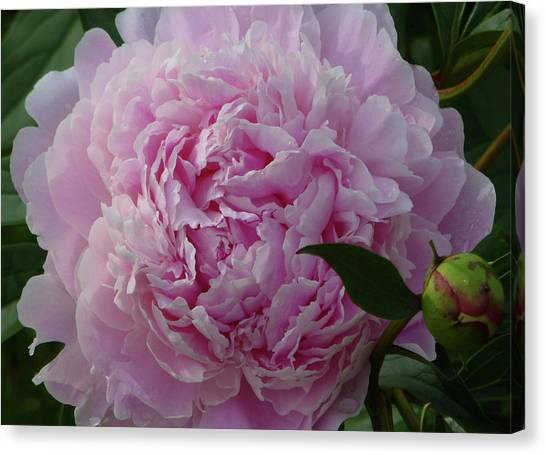 Perfection In Pink Canvas Print