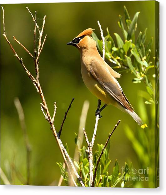 Cedar Waxing Canvas Print - Perfectly Perched by Adam Jewell