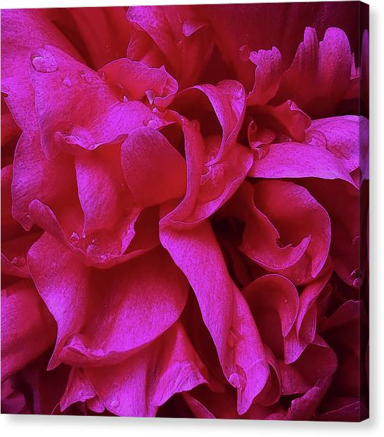 Perfectly Pink Peony Petals Canvas Print