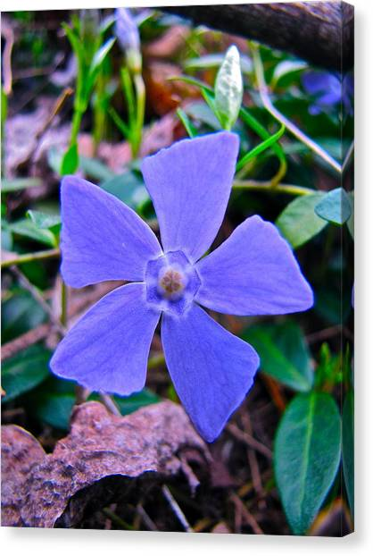 Periwinkle Flower Canvas Print