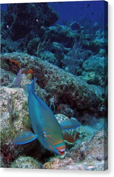Parrot Fish Canvas Print - Perky Parrotfish by Kimberly Mohlenhoff