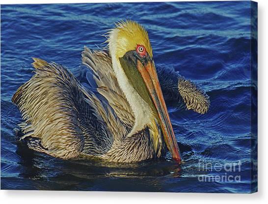 Perky Pelican II Canvas Print