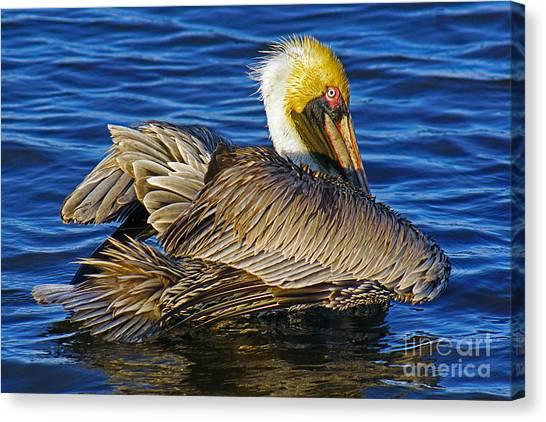 Perky Pelican Canvas Print