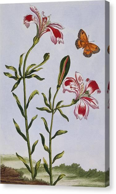 Peruvian Canvas Print - Peruvian Lily by Pierre-Joseph Buchoz