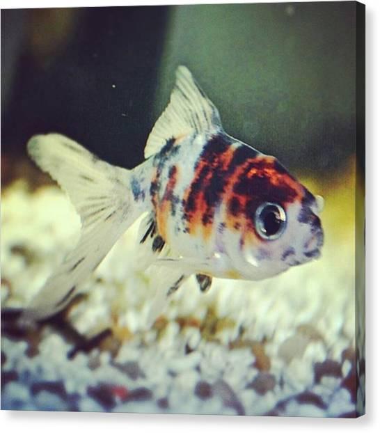 Goldfish Canvas Print - #pescerosso #pesce #oranda #calico by Stefano Bena