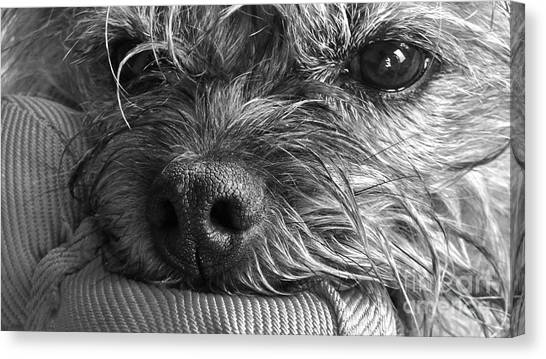 Canvas Print featuring the photograph Pet Portrait - Puck II by Laura Wong-Rose