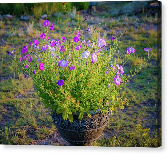 Canvas Print featuring the photograph Petunias Golden Hour by John Brink