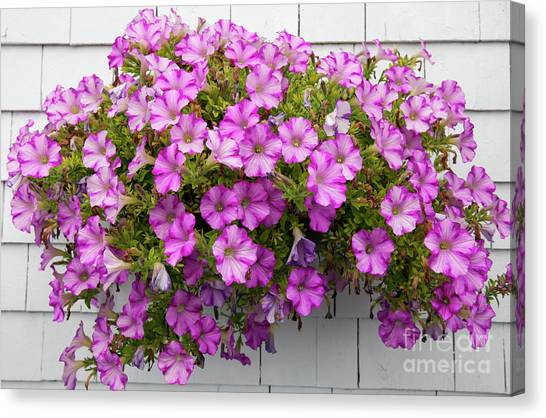 Canvas Print featuring the photograph Petunias On White Wall by Elena Elisseeva