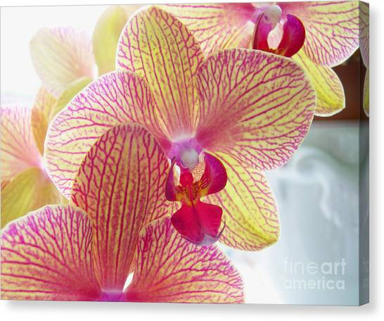 Phalaenopsis Canvas Print by Addie Hocynec