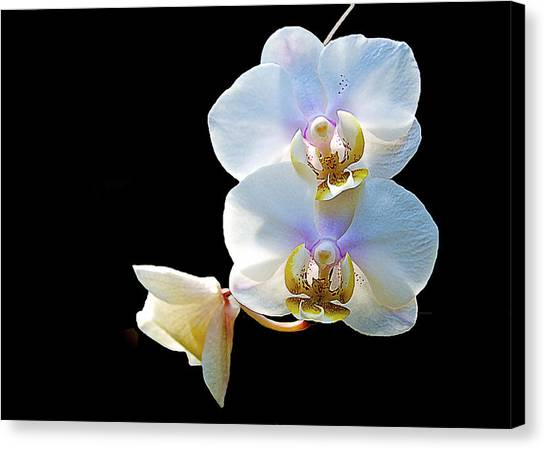 Phalaenopsis Culican #1 Nobby's Amy Shin Hua Canvas Print