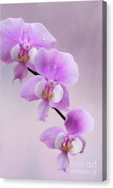 Phalaenopsis Schilleriana Fragrant Butterfly Orchid V2 Canvas Print