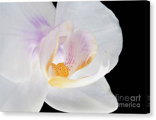 Phalenopsis I Visit Www.angeliniphoto.com For More Canvas Print