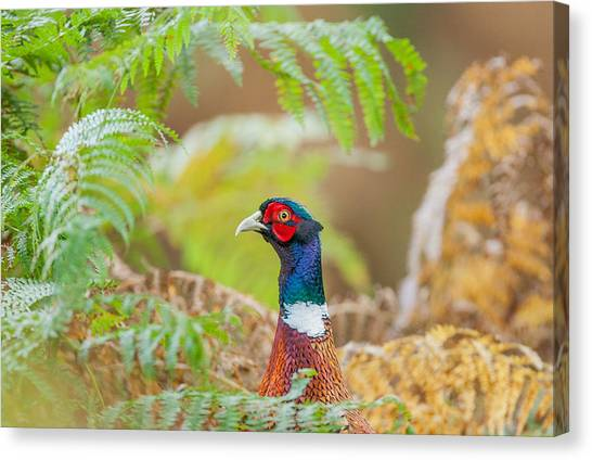 Pheasants Canvas Print - Pheasant Portrait by Paul Neville