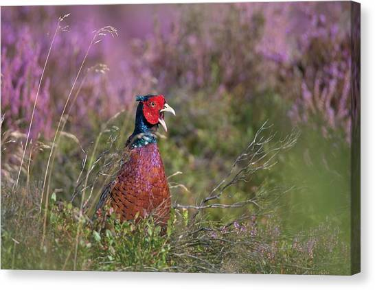 Pheasants Canvas Print - Pheasant by Super Lovely