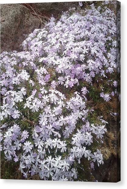 Phlox Blue Lilac Canvas Print