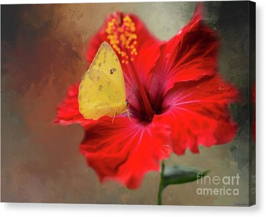 Phoebis Philea On A Hibiscus Canvas Print