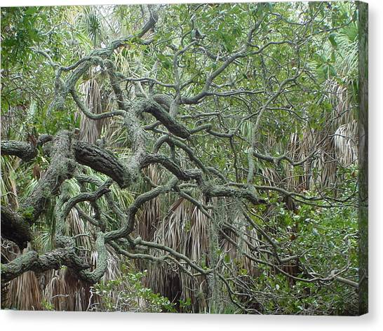 Photo Live Oak Fort Desoto Florida Canvas Print by Ray  Petersen