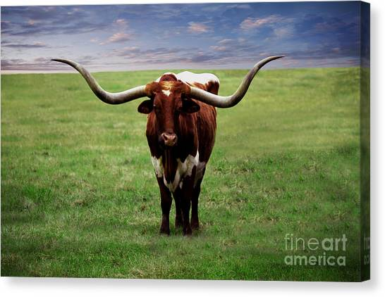 Photo Texas Longhorn A010816 Canvas Print