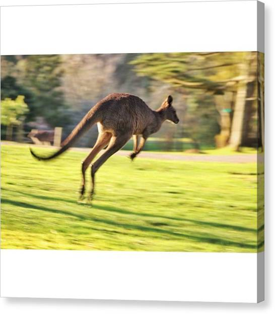 Kangaroo Canvas Print - #photograph #photographer #animal by Owen Hedley Photography