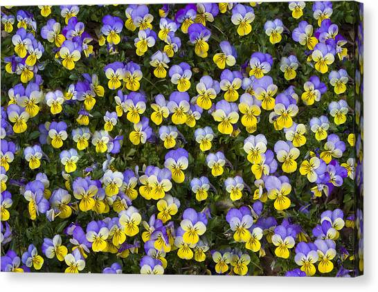 Pick Me-pansies Canvas Print