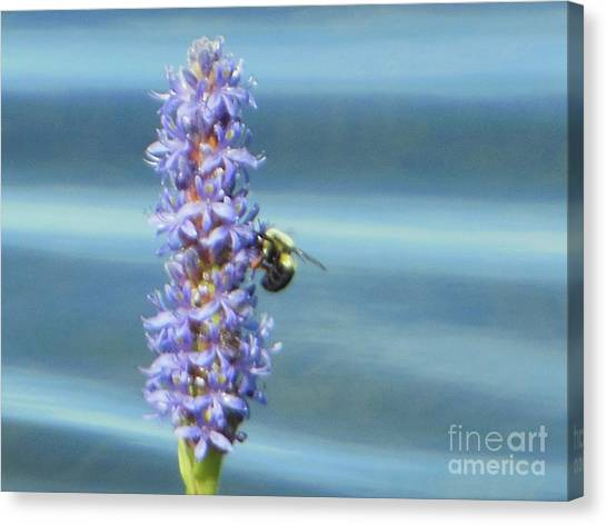 Pickerelweed Bumble Bee Canvas Print