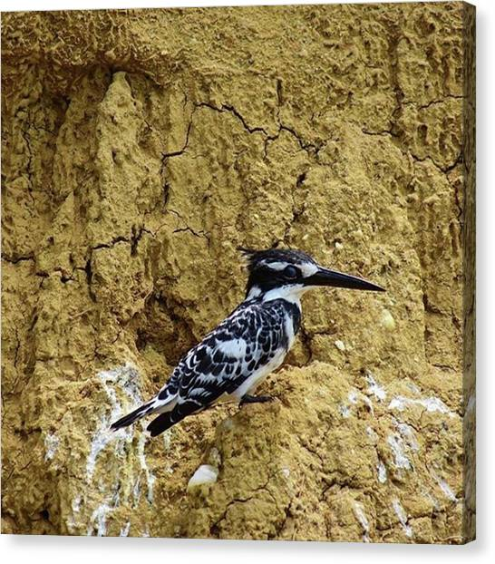 Kingfisher Canvas Print - Pied by Kei Oguchi