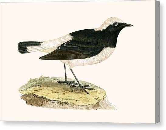 Flycatchers Canvas Print - Pied Wheatear by English School