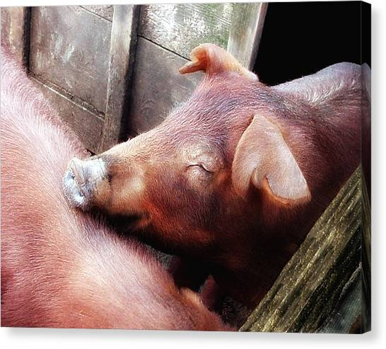 Pig Pals Canvas Print by Ross Powell