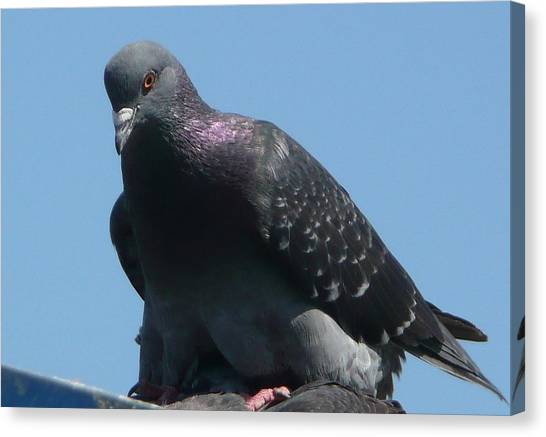 Pigeon On A Roof Canvas Print by Lori Seaman