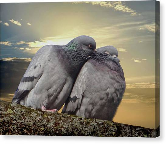 Pigeons In Love, Smooching On A Branch At Sunset Canvas Print