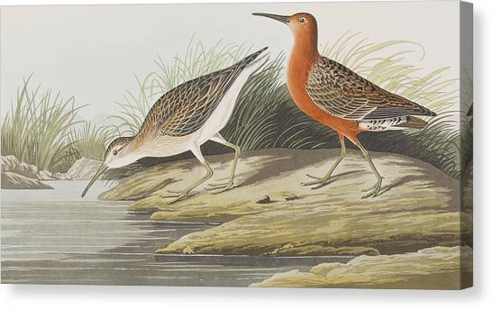 Pigmy Canvas Print - Pigmy Curlew by John James Audubon