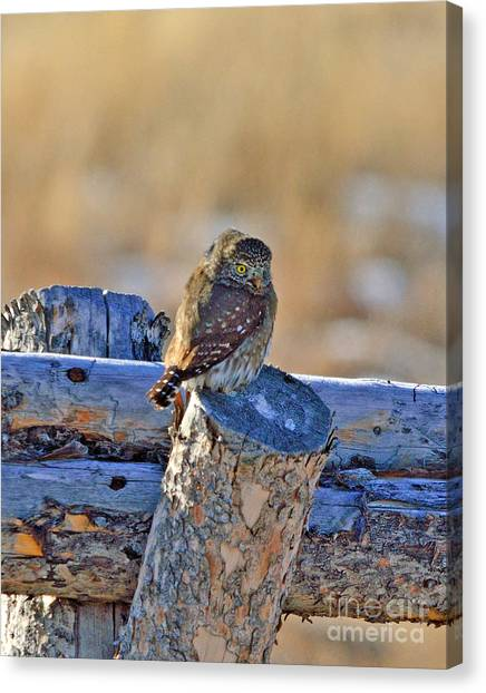 Pigmy Canvas Print - Pigmy Owl by Brad Christensen
