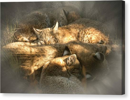 Pile Of Sleeping Bobcats Canvas Print