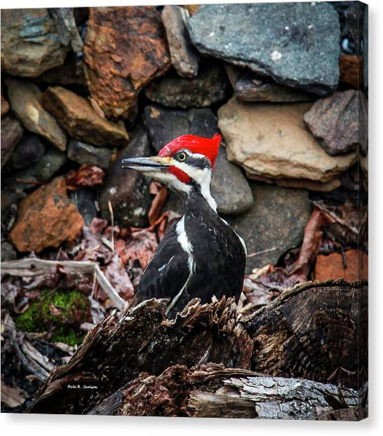 Pileated Pete Canvas Print