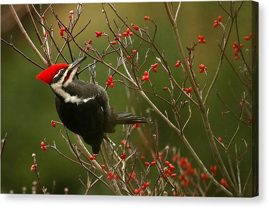 Woodpeckers Canvas Print - Pileated Woodpecker by Alan Lenk