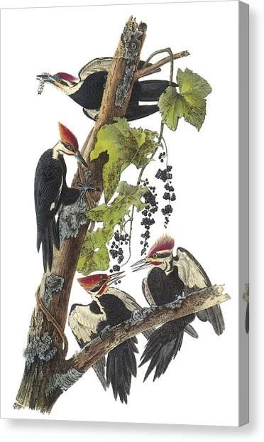 Pileated Woodpecker Canvas Print - Pileated Woodpecker by John James Audubon