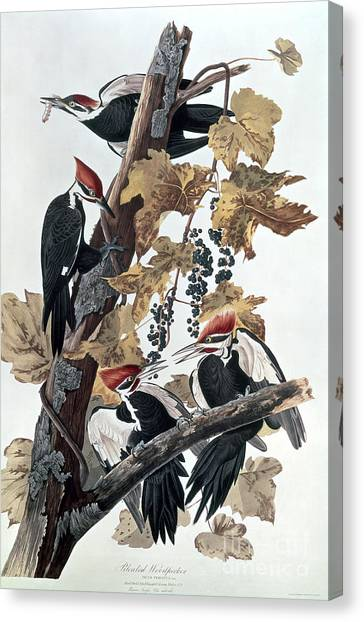 Woodpecker Canvas Print - Pileated Woodpeckers by John James Audubon