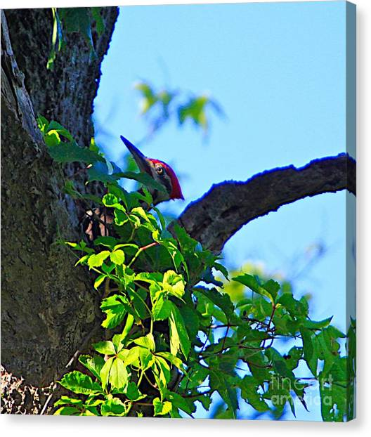 Pileated Woody Wood Pecker Canvas Print by Robert Pearson