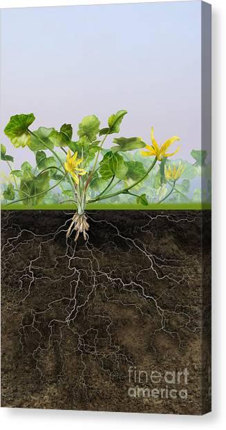 Pilewort Or Lesser Celandine Ranunculus Ficaria - Root System -  Canvas Print